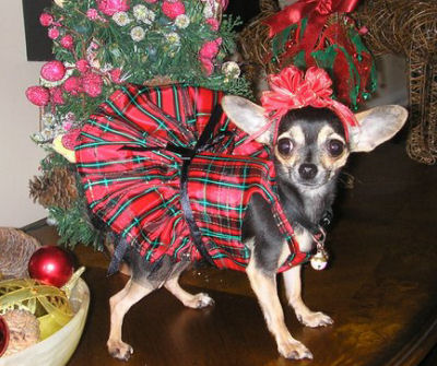 Carino in her cute little doggy Christmas Dress designed and made just for her!