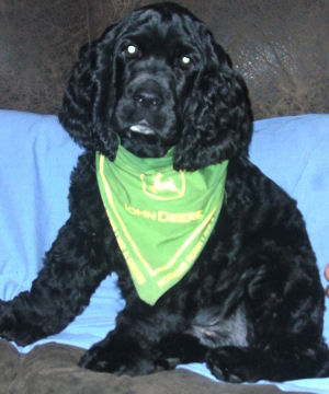 12 week old Cubby shows off his new John Deere bandana.