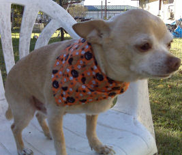 Pam from Texas shows her Chihuahua modeling the awesome dog Bandanas that she made for him.