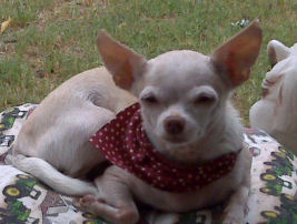 Here is Pam's Chihuahua modeling the awesome dog Bandanas that she made for him.