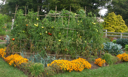 Amazing When Making A Vegetable Garden Make Use Of As Much Space As Possible.  Notice The Tall Hardy Tomato Plants, The Most Common Vegetable/fruit Found  In The ...