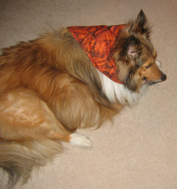 Wally and his new fall scarf bandana that his owner sewed up for him.